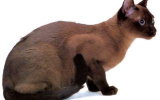 Тонкинская (тонкинез) – кошка, похожая на норку