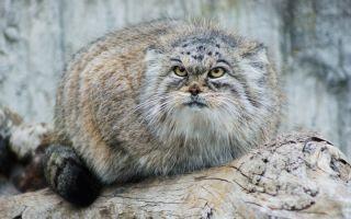 Дикий степной кот манул (палласов кот)