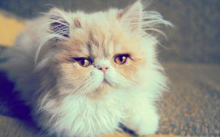 Персидская кошка — пушистое ленивое создание
