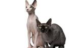 Сфинксы – многообразие лысых кошек