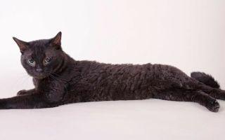 Немецкий рекс (герман-рекс) – кошка-ягненок
