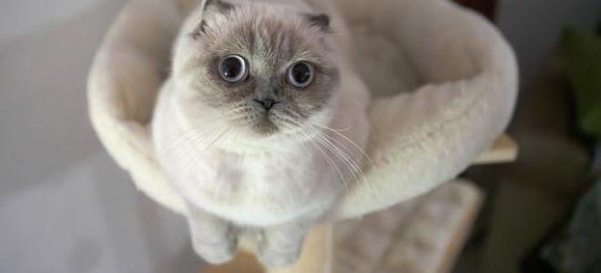 Как назвать шотландского котенка