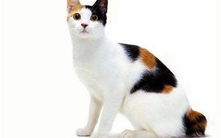Японский бобтейл – кошка счастья и процветания