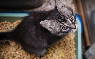 Что делать если у котенка запор