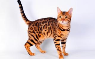 Бенгальская кошка – порода, похожая на леопарда