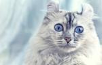 Американский керл – кошка с загнутыми назад ушами