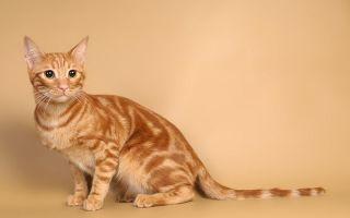 Анатолийская кошка – турецкая красавица