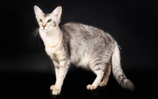 Яванская кошка (Яванез) – сородич балинеза