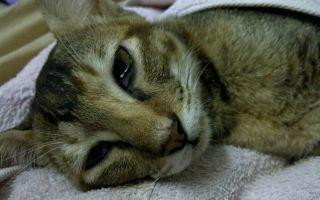 Панлейкопения у кошек: симптомы и лечение