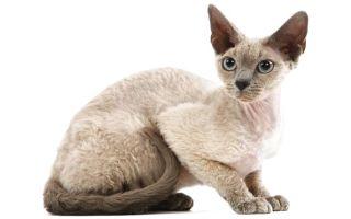 Девон-рекс – инопланетная кошка