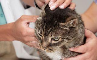 Как лечить ушной клещ у кошки