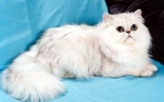 Персидская шиншилла кошка – пушистая красавица