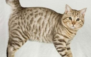 Американский бобтейл – короткохвостая кошка-эмпат