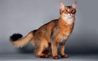 Сомалийская кошка с беличьим хвостом