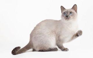 Тайская кошка – воплощение грациозности