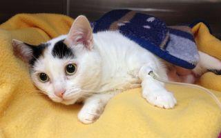 Пиометра у кошек: симптомы и лечение