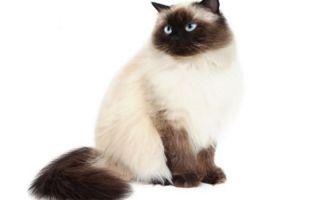 Гималайская кошка — смесь персов и сиамов