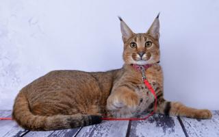 Каракет – смесь каракала и бенгальской кошки