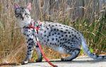 Шлейка для кошки: как сшить, надеть и приучить