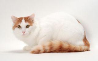 Кошка турецкий ван — рыболов озера Ван