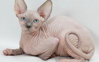 Канадский сфинкс – лысая кошка с бездонными глазами