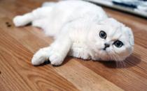 Шотландская шиншилла кошка – очаровательная вислоушка