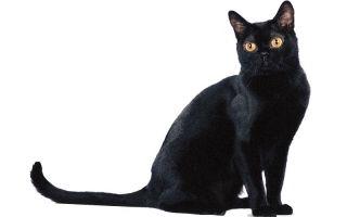 Бомбейская кошка (бомбей) — грациозная черная пантера