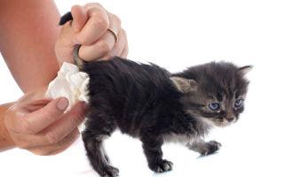 Что делать, если у котенка понос