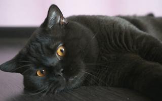 Черный британский кот