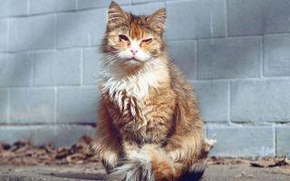 Вирусная лейкемия и лейкоз у кошек: симптомы и лечение
