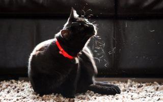 Чем опасны власоеды для кошек, диагностика и лечение