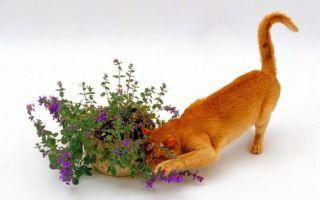 Для чего нужна кошачья мята и как она действует на кошек