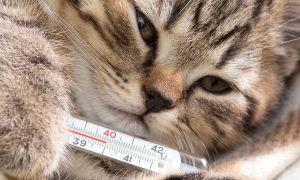 Что делать, если у кошки высокая температура