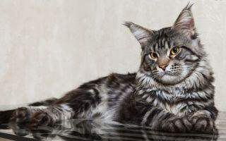 Мейн-кун – роскошный кошачий гигант