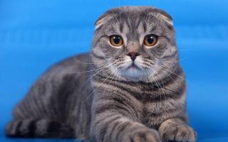 Скоттиш фолд — шотландская вислоухая кошка
