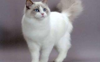 Рэгдолл – кошка, похожая на куклу