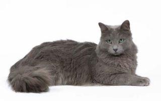 Кошка Нибелунг – порождение тумана
