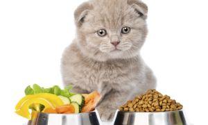 Как и чем кормить шотландскую кошку