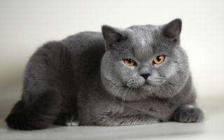 Скоттиш страйт – шотландская прямоухая кошка