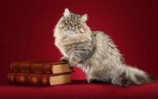 Наполеон менуэт – пушистая кошка с короткими лапами