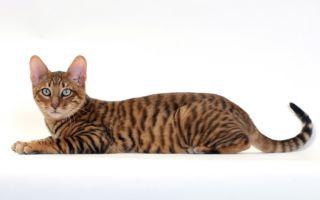 Тойгер – кошка, похожая на тигра