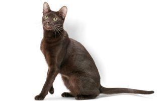 Гавана браун – шоколадная кошка с шелковистым мехом