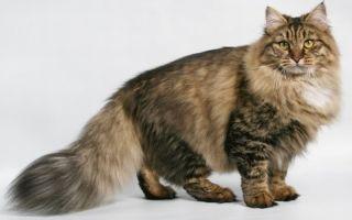 Сибирская кошка – русская красавица