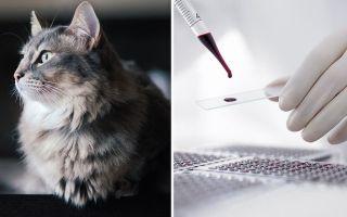 Виды и расшифровка анализов крови у кошки