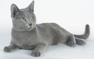Русская голубая кошка – любимица Петра I