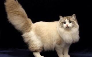 Рагамаффин — кошка-херувим