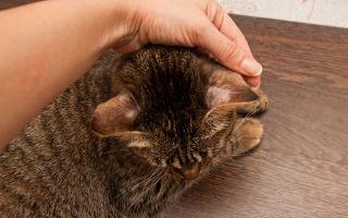 Передается ли лишай от кошки к человеку