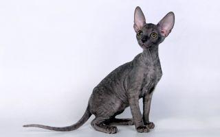 Корниш-рекс – каракулевая кошка