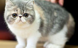 Экзотическая кошка (экзот) — короткошерстная с приплюснутой мордой
