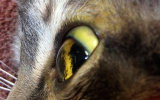 Гепатит у кошек: виды, симптомы и лечение